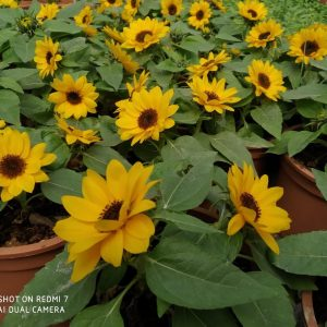 Sunflower (Helianthus)